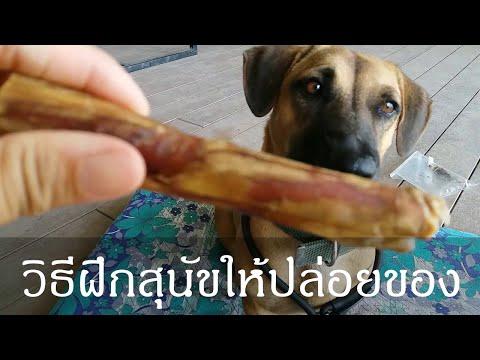 Khon Jai Ma   วิธีฝึกสุนัขให้ปล่อยของ และการอ่านภาษากายของสุนัข