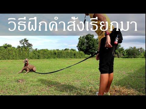 Khon Jai Ma   วิธีฝึกคำสั่งเรียกมา และการใช้นกหวีด