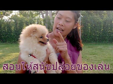 Khon Jai Ma   สอนให้สุนัขปล่อยของเล่น